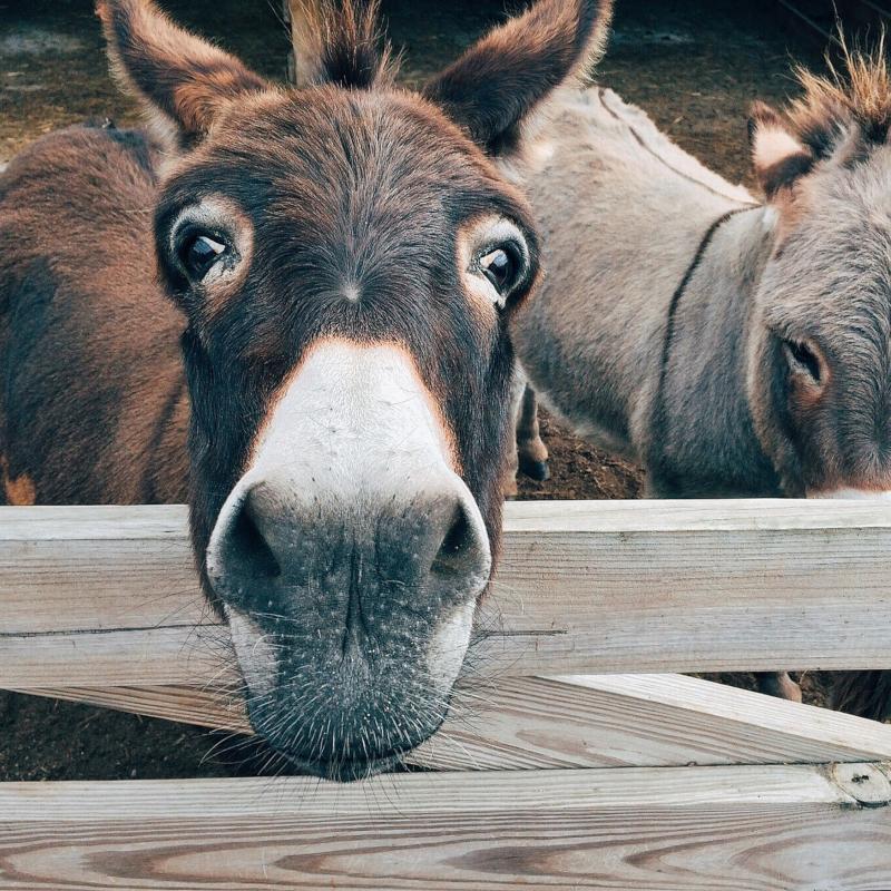 Wandelen met een ezel in de Belgische Ardennen
